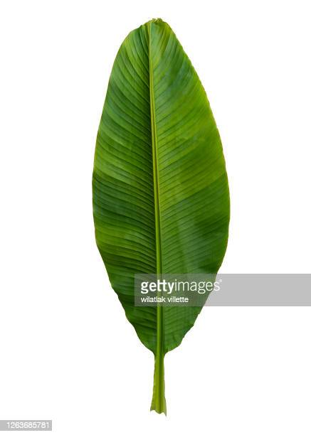 a banana leaf to use as a design element or silhouette, including a clipping path on white background - leaf stockfoto's en -beelden