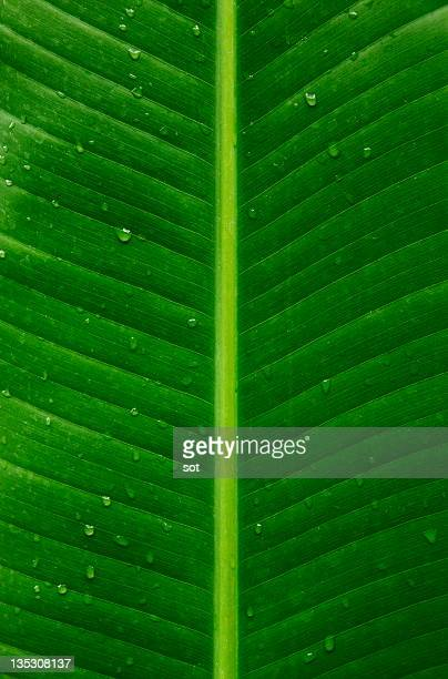 Banana leaf with water drops,close up