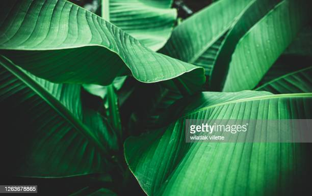 banana leaves are green nature. - lozano fotografías e imágenes de stock