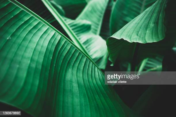 banana leaves are green nature. - banana tree stock pictures, royalty-free photos & images