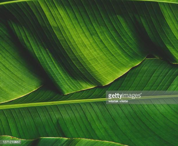 banana leaves are green nature. - arbre tropical photos et images de collection
