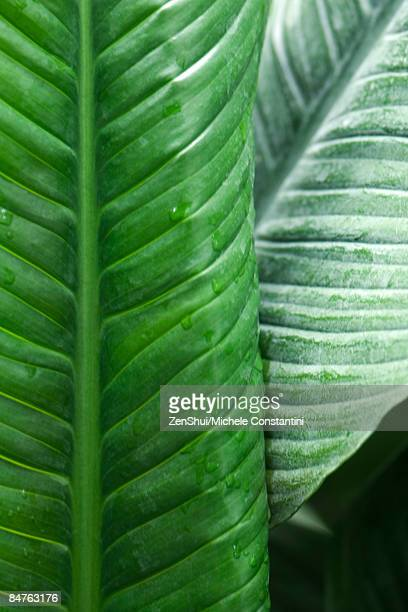 Banana leaves with droplets of dew, close-up