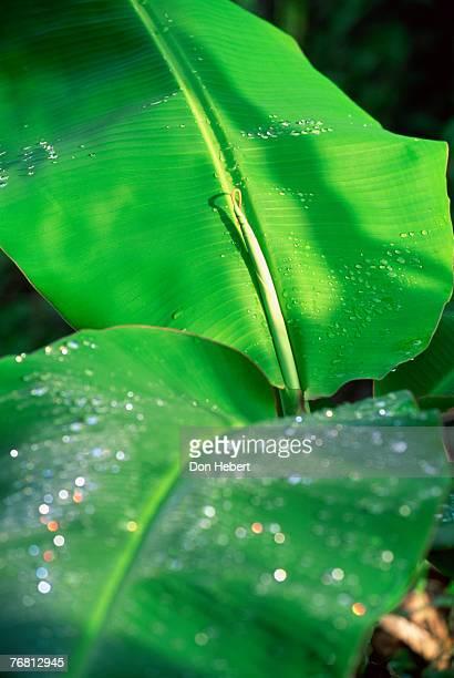 Banana leaves/dew, St. Thomas, Virgin Islands