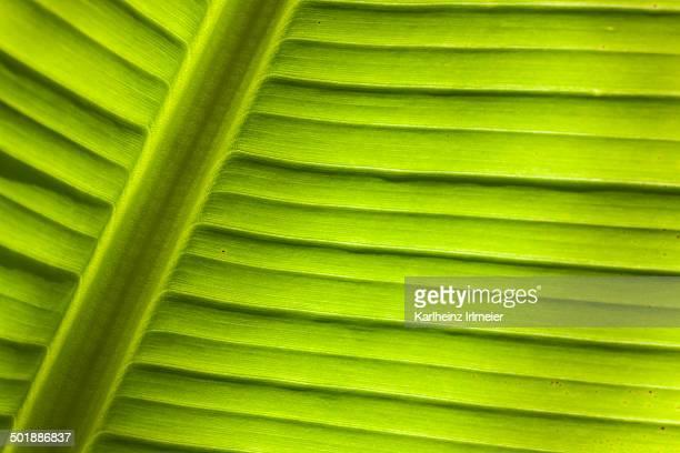 Banana -Musa sp.-, detail of leaf, Cornwall, England, United Kingdom