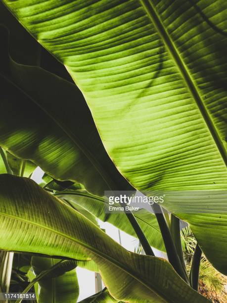 banana palm leaves - emma baker stock pictures, royalty-free photos & images