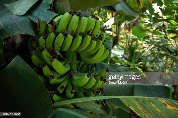 banana palm tree with bunch of developing banana fruit - banana tree stock pictures, royalty-free photos & images