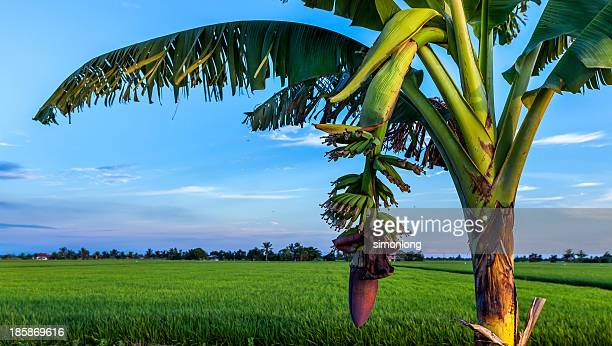 a banana plant in malaysia - banana tree stock pictures, royalty-free photos & images