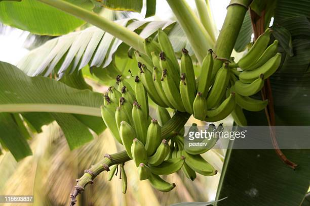 banana plant - banana tree stock pictures, royalty-free photos & images