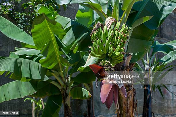 A banana plant with fruits and flower at the National Museum in San Jose the capital city of Costa Rica