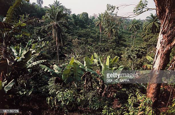 Banana plantation and coffee plantation in the area south of Bafoussam Cameroon