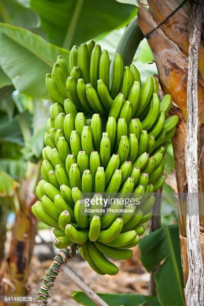 Banana plantation at San Andres, La Palma, Spain