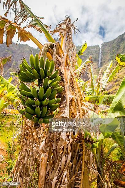 banana plantation below cliff with waterfall - merten snijders stockfoto's en -beelden