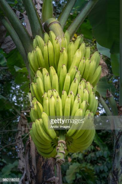 banana plantation,  corcovado national park, costa rica - banana tree stock pictures, royalty-free photos & images