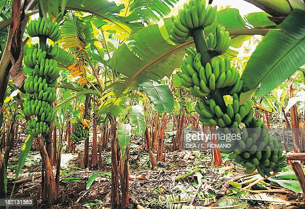 Banana plantation in the region of Bananier Guadeloupe