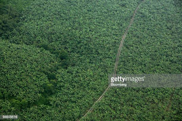 A banana plantation is seen from a small aircraft in the state of Los Rios Ecuador on Aug 16 2007 The plantation is owned and operated by Reybanpac...