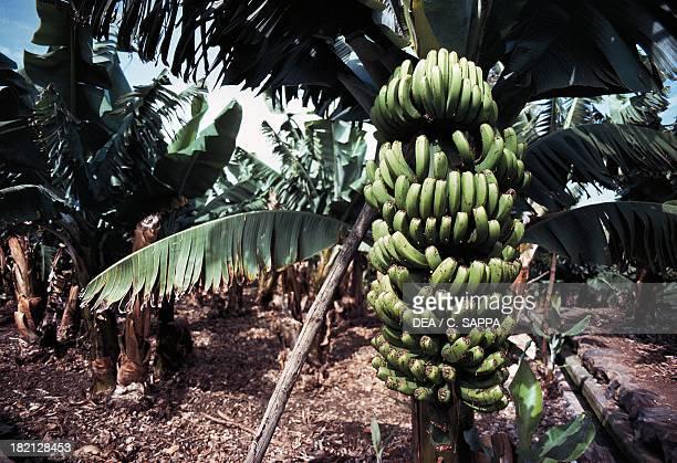 Banana plantation Musaceae La Palma Canary Islands Spain