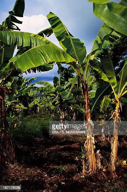 Banana plantation Nosy Iranja Madagascar