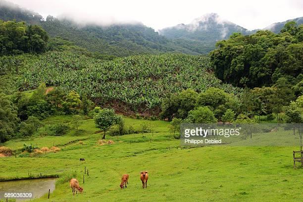 Banana plantation on the hill, Corupá, Brazil