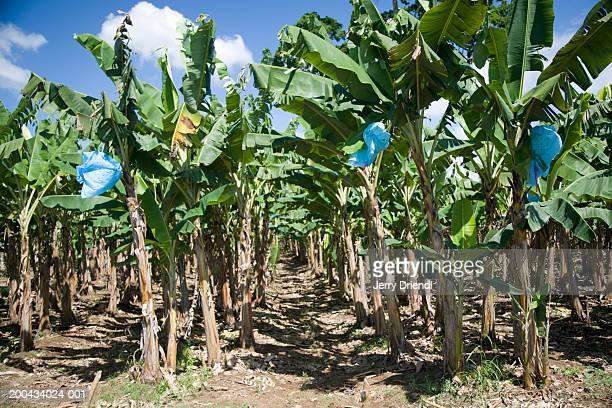 Banana plantation, side view