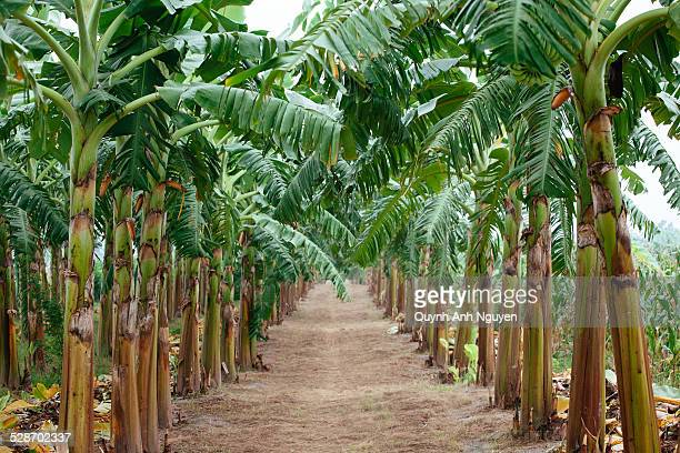 banana plantation, vietnam - banana tree stock pictures, royalty-free photos & images