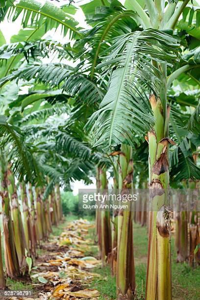 Banana plantation, Vietnam