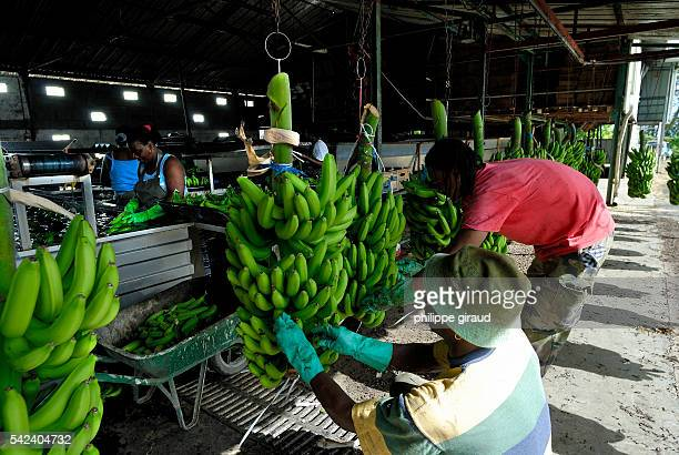 Banana production plant where bananas are washed and packed