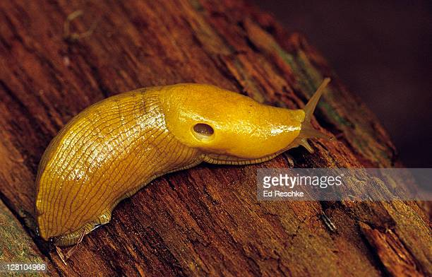 Banana Slug, Ariolimax columbianus. Tips of the tentacles have photosensitive eye spots. The opening on the mantle is a respiratory opening that leads into a ''''lung''''. Hoh Rainforest, Olympic National Park, Washington
