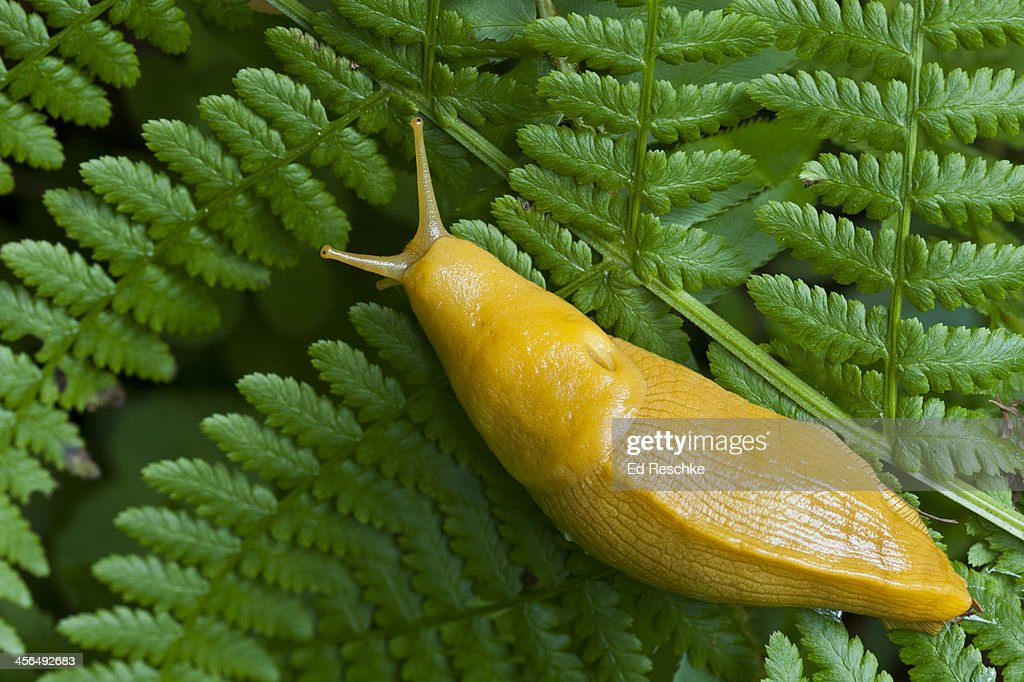 Banana Slug on a fern--Redwood National Park : Stock Photo