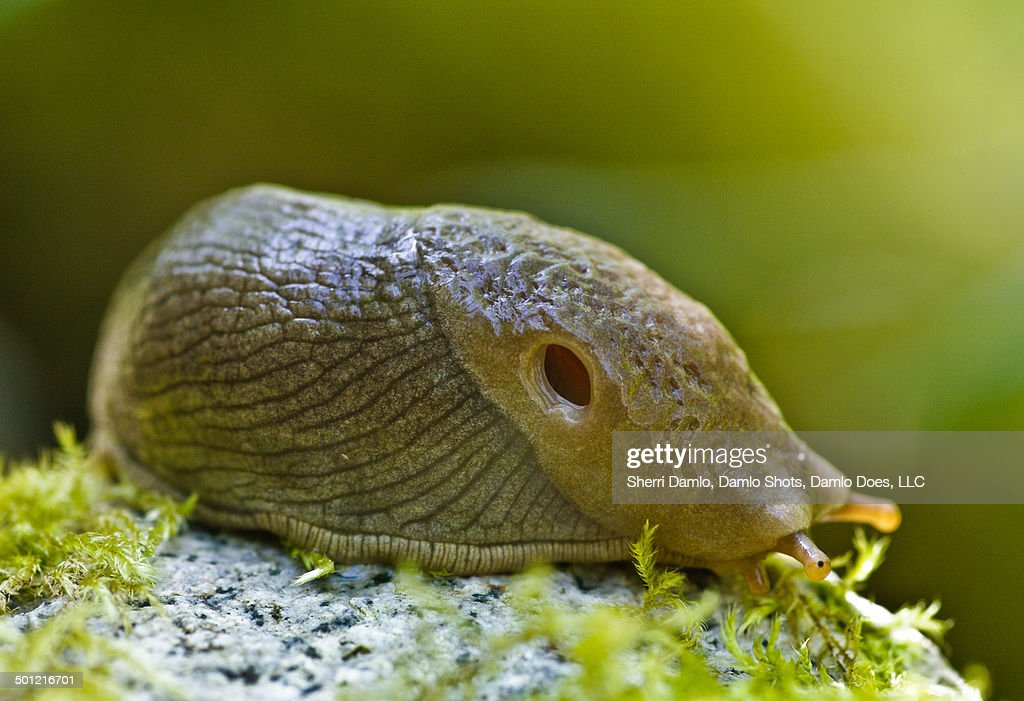 Banana slug : Stock Photo