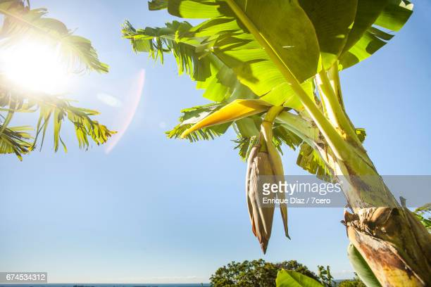 Banana Tree and Flower in Sunlight, Byron Bay Hinterland