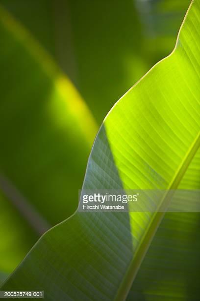 Banana tree (Musa acuminata), close-up of leaf