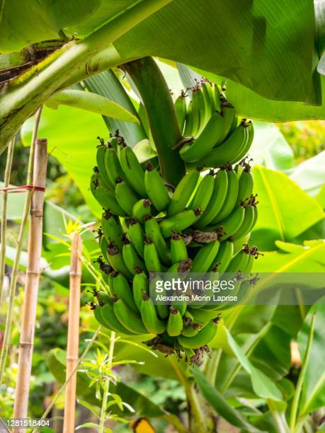 banana tree (musa acuminata) in a garden in a cloudy day - banana tree stock pictures, royalty-free photos & images