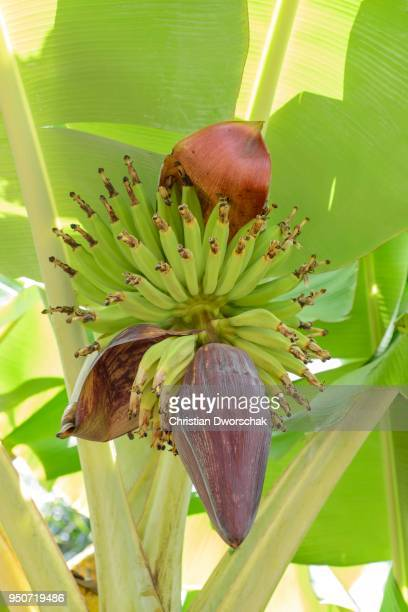 Banana tree (Musa sp.), inflorescence and multiple fruit, Kamokila Hawaiian Village, Kapaa, Kauai, USA