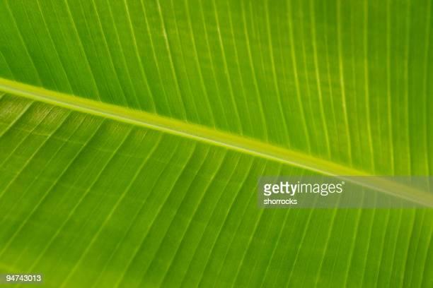 Banana Tree Leaf