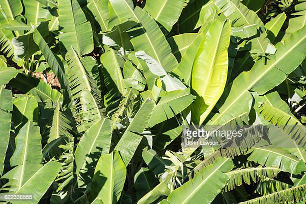 Banana tree leaves from above