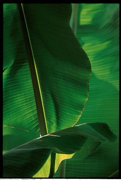 Banana Tree Leaves In Indonesia -