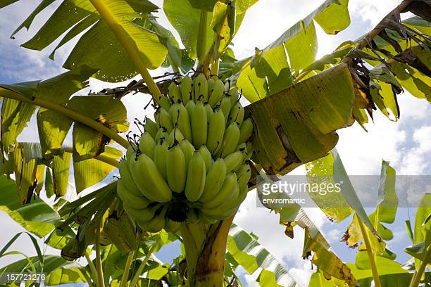banana tree. - banana tree stock pictures, royalty-free photos & images