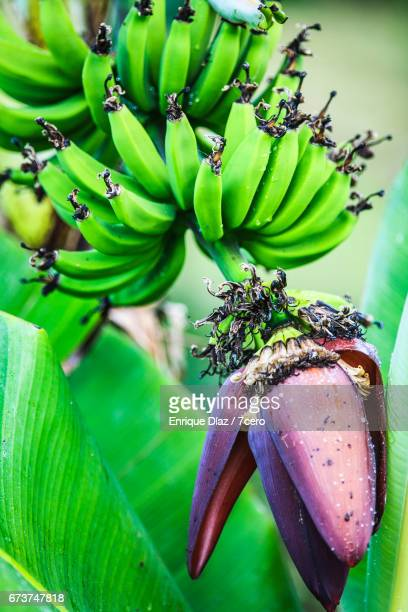 Banana Tree, Plant and Flower in Byron Bay Hinterland