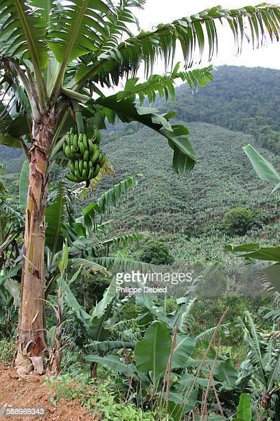 Banana tree plantation and banana fruit on tree