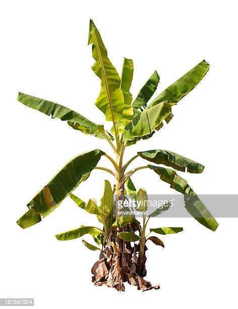 banana tree with clipping path. - banana tree stock pictures, royalty-free photos & images