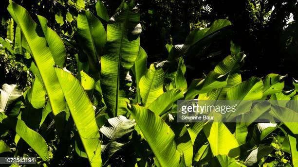 banana trees against the light, charlotteville, tobago, trinidad and tobago, west indies, south america - paisajes de trinidad tobago fotografías e imágenes de stock