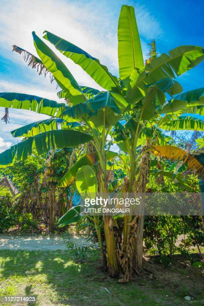 banana trees and blue sky with sunshine. yap, micronesia - banana tree stock pictures, royalty-free photos & images