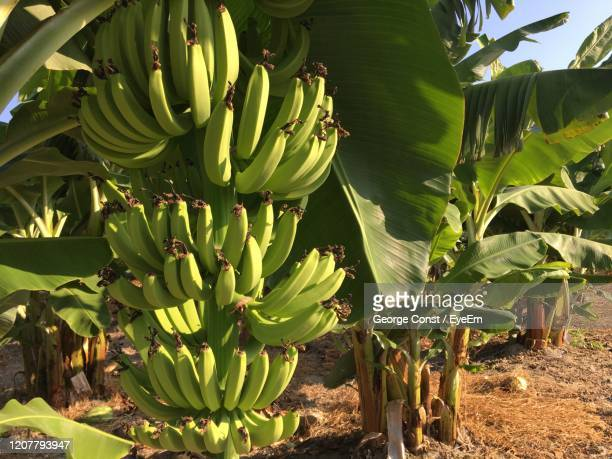 banana trees in paphos - banana tree stock pictures, royalty-free photos & images