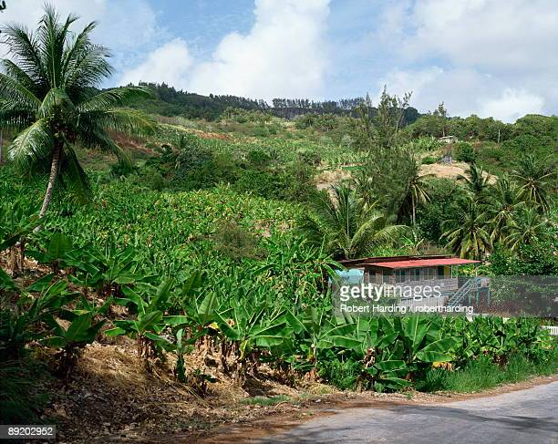 Bananas, Barbados, West Indies, Caribbean, Central America