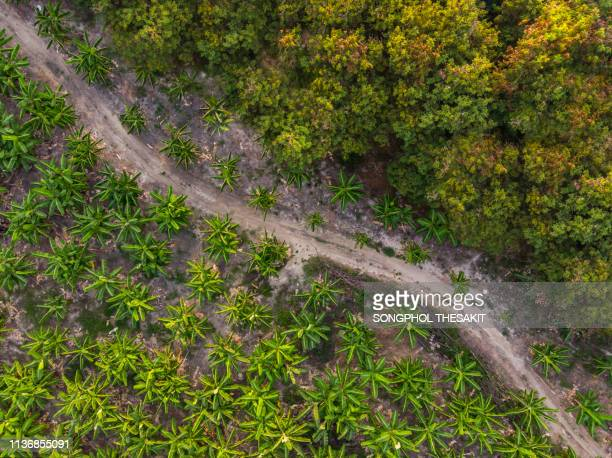 bananas from the high angle. agricultural crops that are in demand in the market as a plant. - banana tree stock pictures, royalty-free photos & images