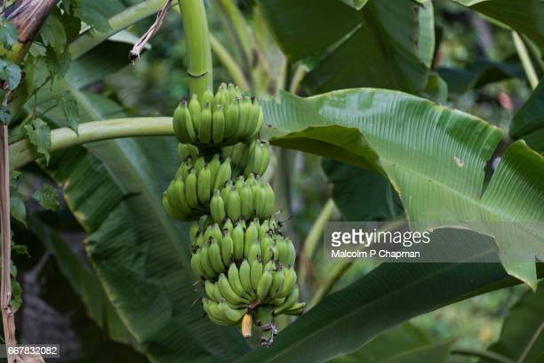 Bananas growing on tree, Negombo, Sri Lanka