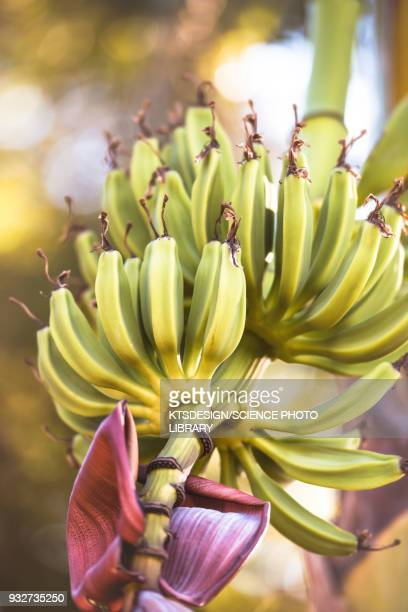 Bananas growing on tree