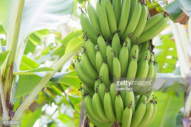 Bananas hanging in tree