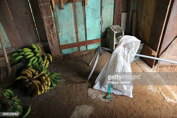 Bananas in a barn and tool to cover the bunches