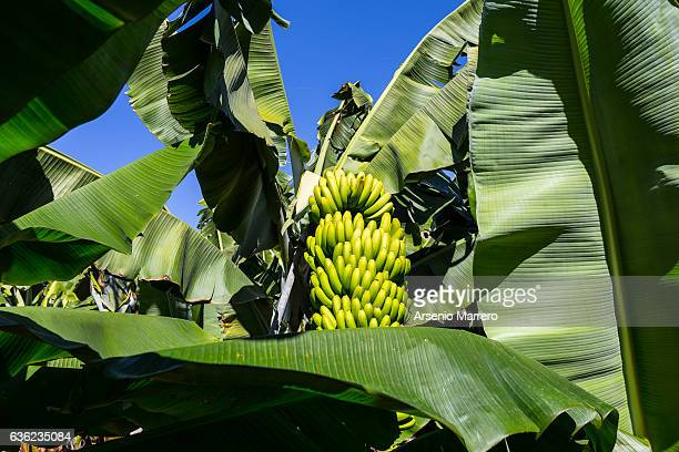 Bananas in Cape Verde